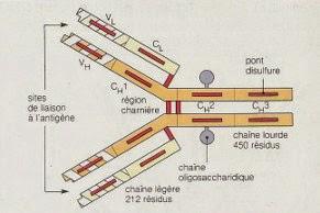 Schéma de la structure d'une IgG