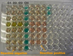 Photo d'une recherche d'anticorps réalisée en microplaque