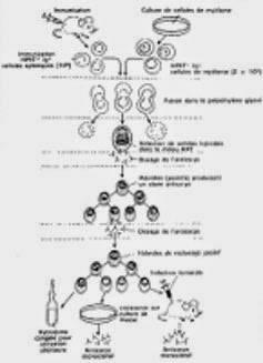Schéma de la fabrication des anticorps monoclonaux