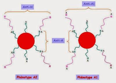 Représentation des antigènes A1 et A2