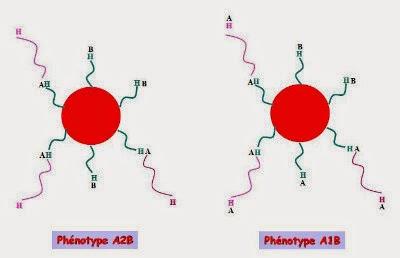 Représentation des globules rouges AB