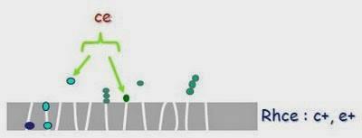 antigènes composés du système RH