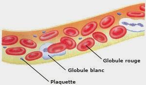Schéma des différents composant du sang dans la circulation