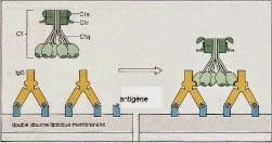 schéma de la fixation du complément aux complexe anticorps-antigène