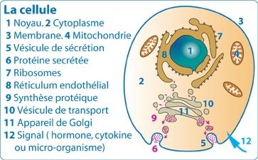Formation des antigènes