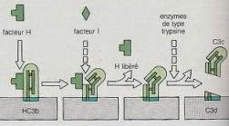 Schémar de la cormation du C3d, fagment du complément