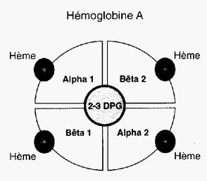 Schéma de l'hémoglobine A