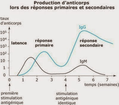 Cinétique de la production d'anticorps et des différents types d'anticorps