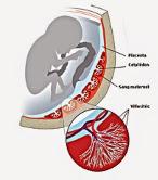 Structure du placenta