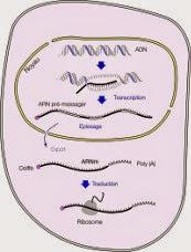Séquençage de l'ADN