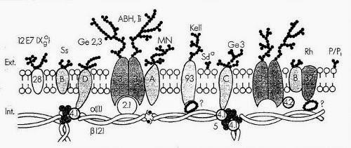 structure de la membrane des globules rouges