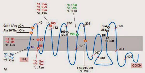 Représentation des antigènes du systeme Rh