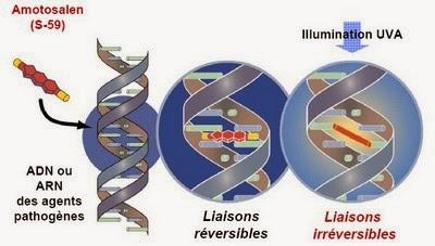 Schéma de l'inactivation d'agents pathogènes par amotosalen