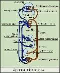 Schéma de l'appareil circulatoire