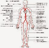 Schéma du corps humain avec les artères