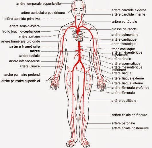 circulation du sang dans le corps humain