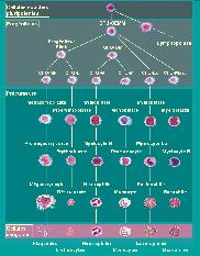 schéma de l'hématopoièse