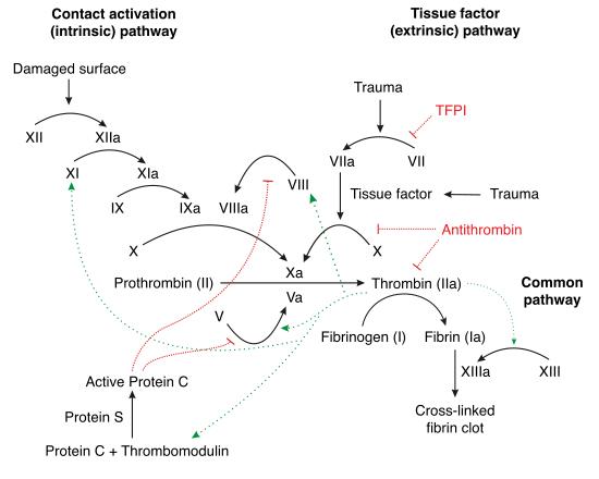 Schéma de l'hémostase secondaire