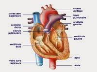 Schéma du coeur visualisant les veines, les oreillettes et les ventricules