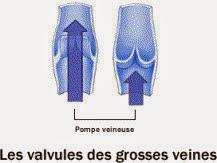 Schéma des valvules des grosses veines